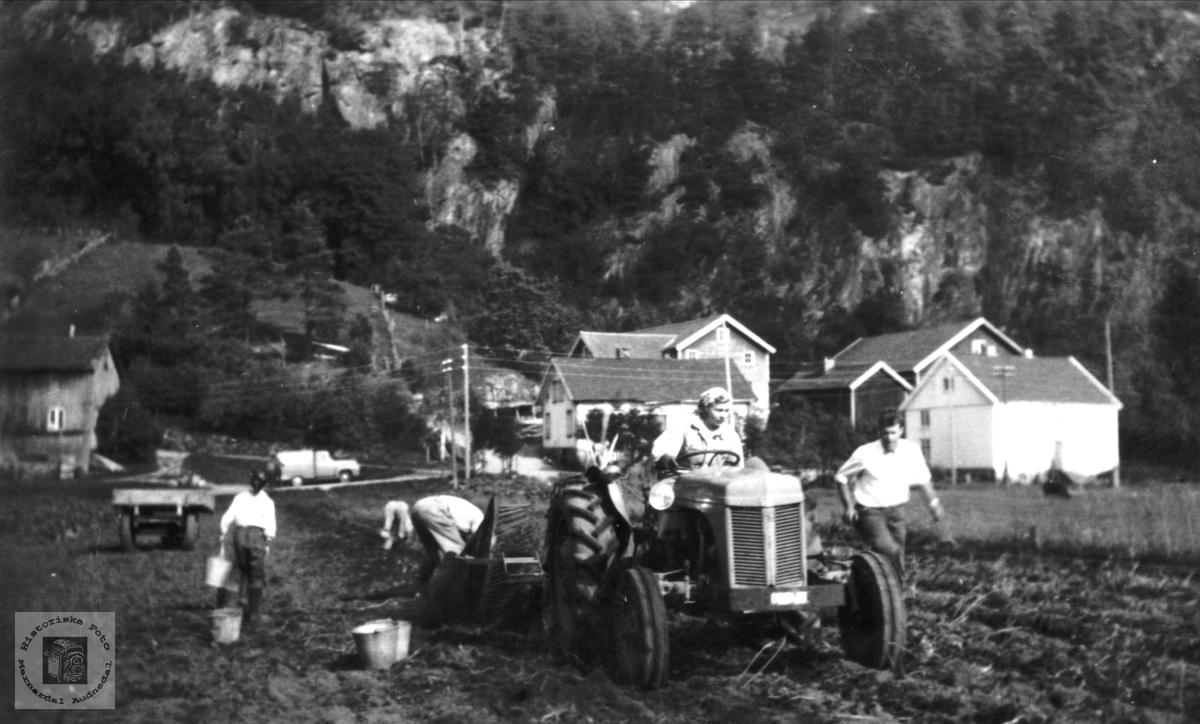 Potetopptaking på Skjævesland i Øyslebø. Første gang med traktor.