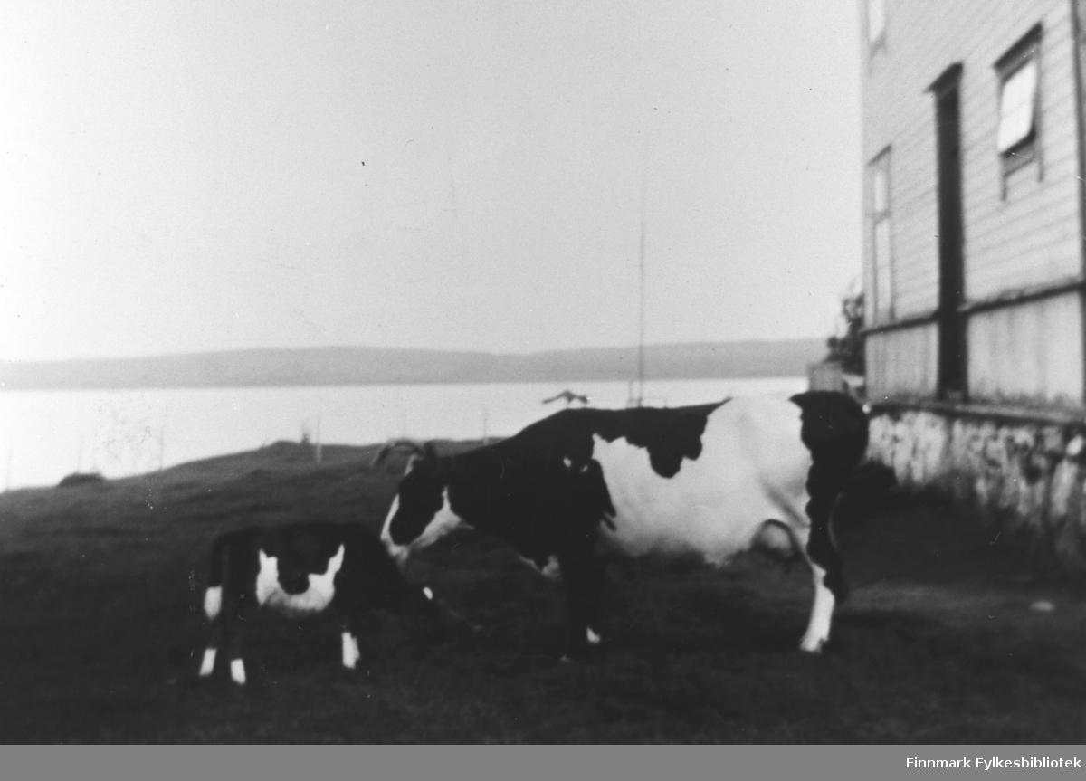 Kua 'Stjerna' med kalven sin utenfor Årnes i 1924. B 5526