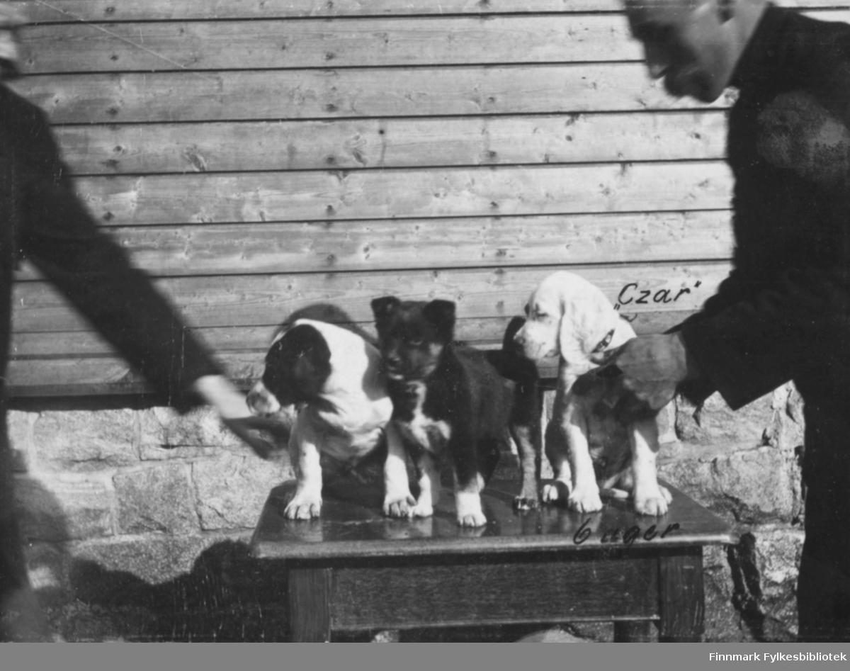 Et bilde av tre hundevalper fotografert stående på bordet ved et hus. To menn prøver og holde de aktive valpene på bordet. Av den ene mannen vises bare handen, den andre er halveis med på bildet men er noen uskarp i ansiktet. På bildet er det skrevet 'Czar' ved en av valpene og at dem er 6 uker gamle.
