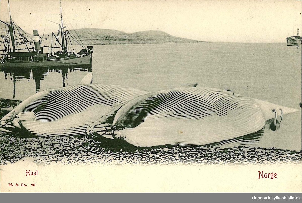 Postkort med motiv av to hvaler som ligger på siden i fjæra med to båter ut på fjorden. Kortet er en julehilsen til Arthur Buck på Hasvik og er sendt fra Tromsø i desember 1909.