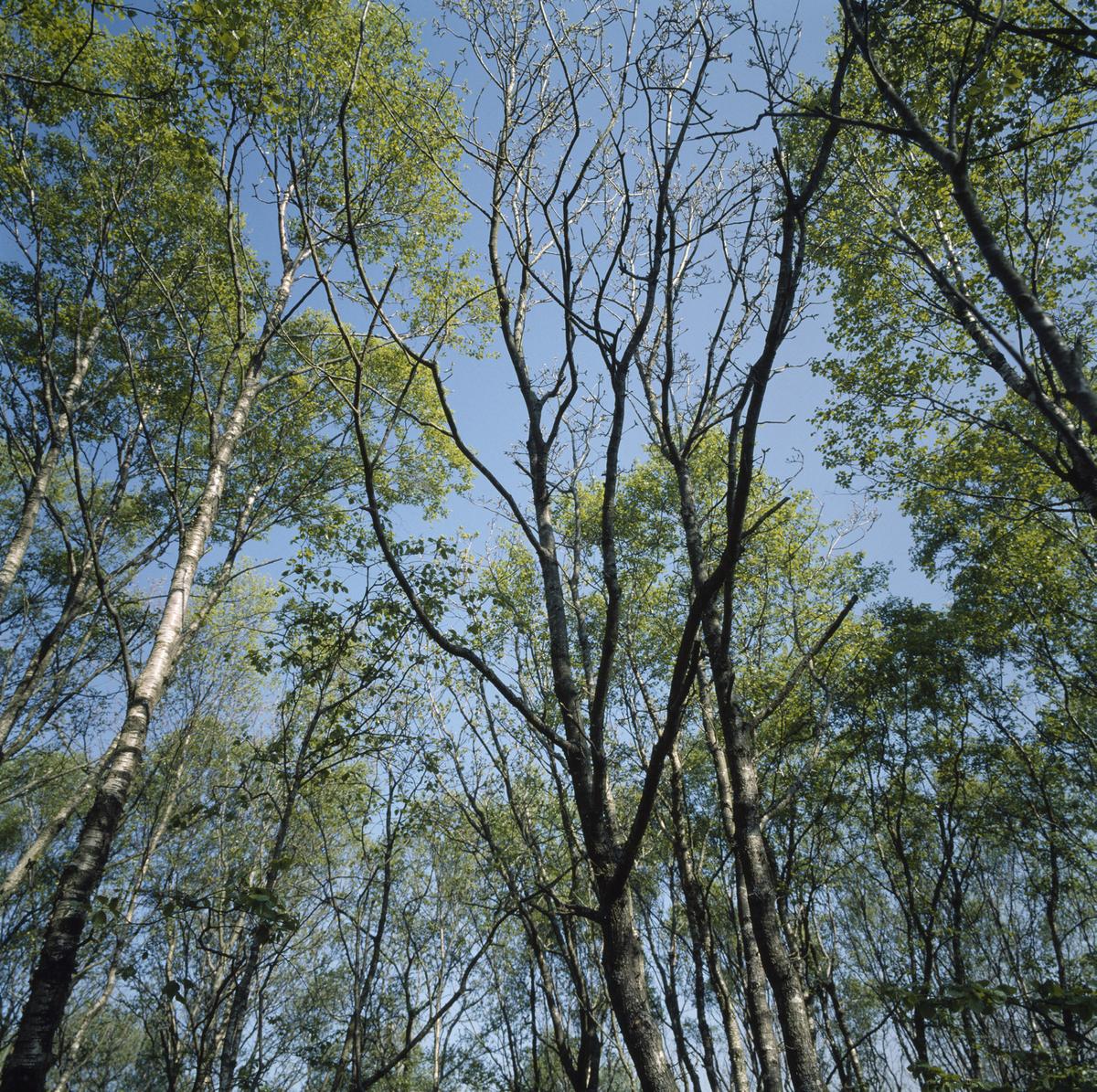 Løvskog i mai (vår), trekroner.
