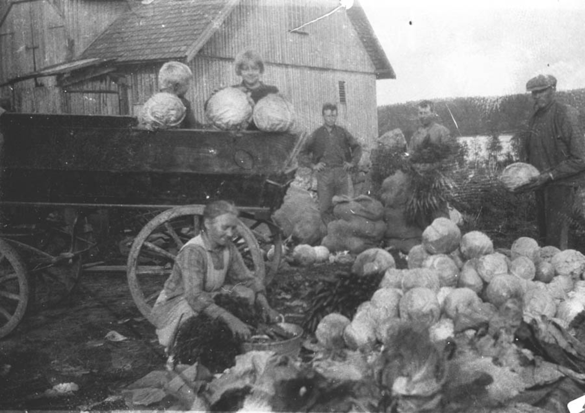 Gruppebilde. Høsting av hodekål og gulerøtter, menn og kvinner i arbeid.