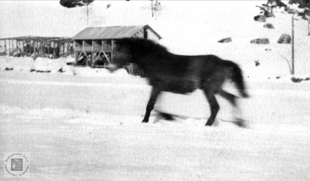 Hest i Verdalen, Laudal.