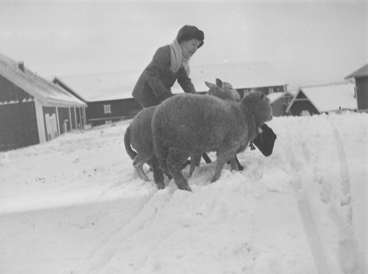En vinterkledd gutt, sannsynligvis Iacob Ihlen Mathiesen, passer på tre søyer. Gårdsplassen mellom driftsbygningene på Linderud Gård er full av snø.