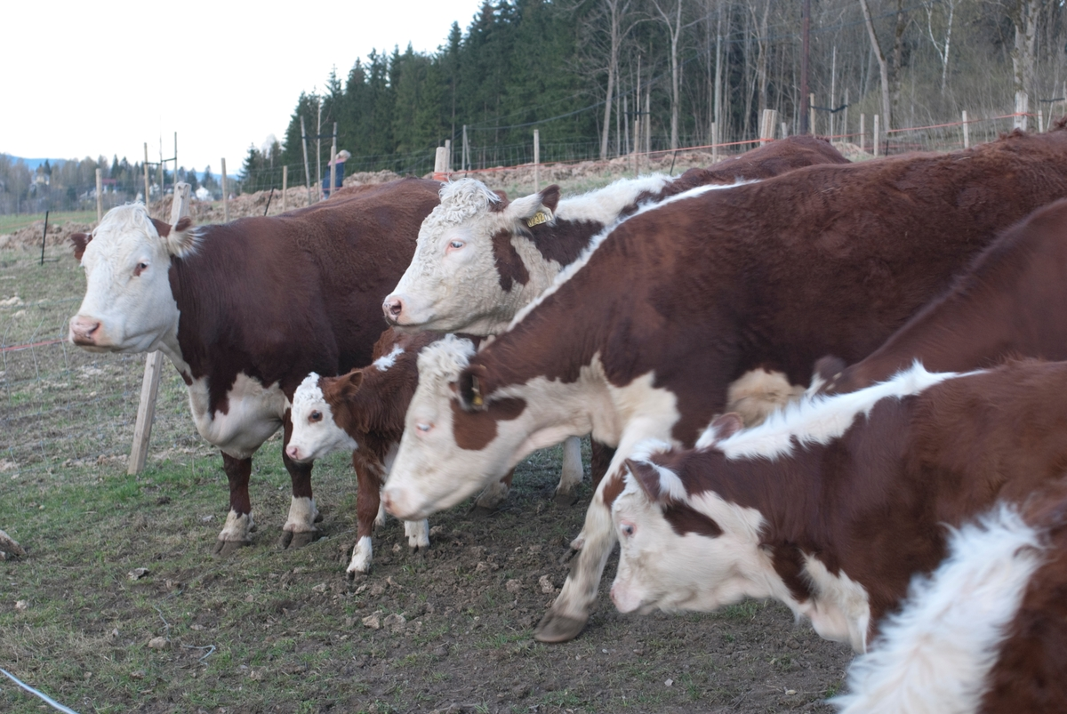 En flokk med kyr på jorde