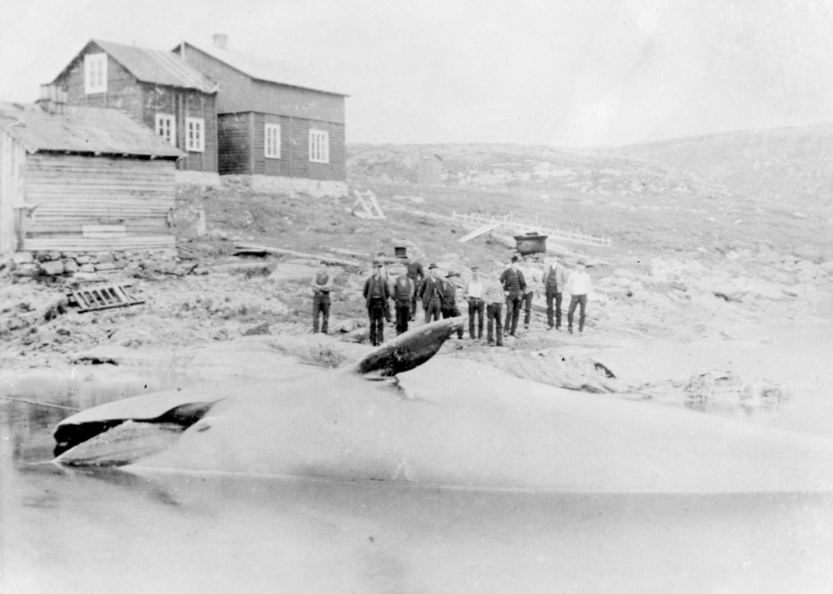 Svend Foyns annlegg i Båtsfjord. Bildet er tatt på Storholmen i Båtsfjord. Huset i bakgrunnen tilhørte Fiskefangst-selskapet Moldvik til utpå 60-tallet. På bildet ser man en hval er dratt halveis opp på land. En gruppe menn står i fjæra bak hvalen. Lengre opp i bakken står et to etasjes hus og et mindre tømmerhus. Lengst bort på bildet står det et utedo.