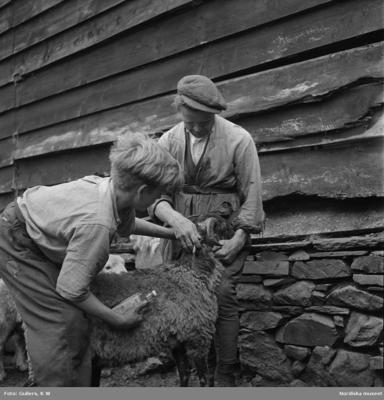 Man och pojke sköter om ett får.