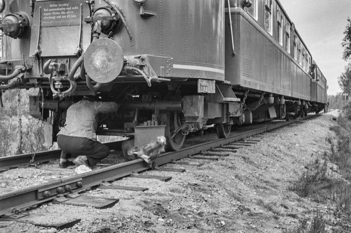 Et persontog på Rørosbanen har kjørt ihjel noen kalver, og lokomotivføreren må rydde opp.