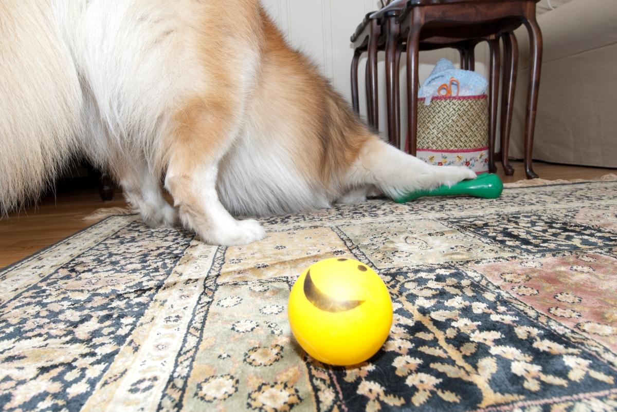 Hunden Romeo leker med hundeleker hjemme i stua.