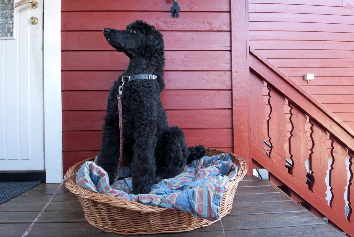 Hunden Pedro sitter i sin hundeseng ute på verandaen foran huset.