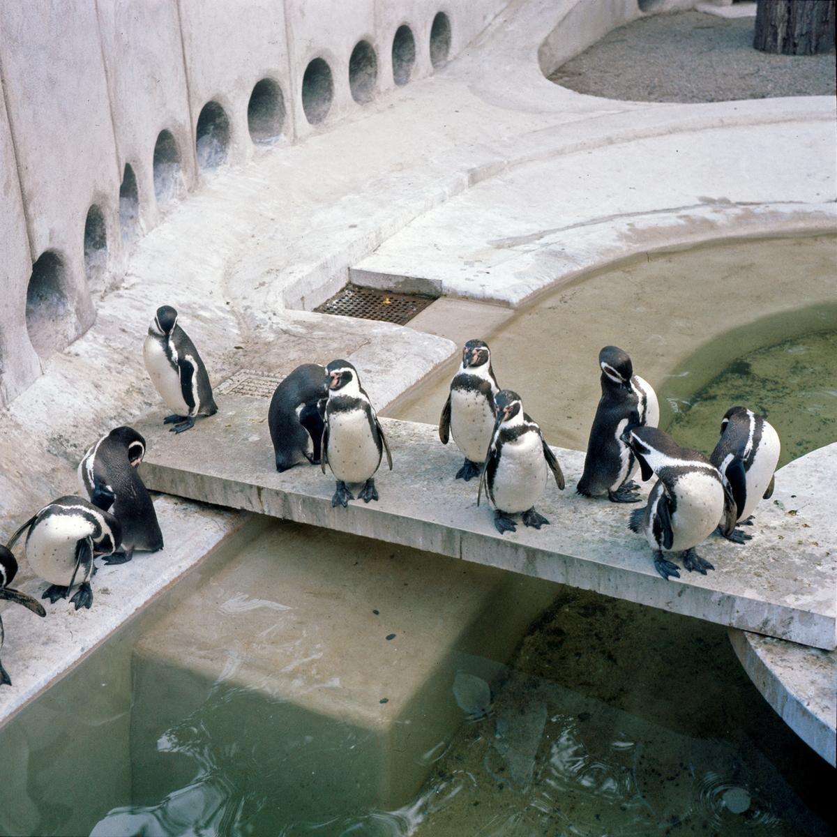 Pingviner på Skansen. Humboldtpingviner (Spheniscus humboldti). Anläggningen invigdes i maj 1963, och var ritad av stadsträdgårdsmästare Holger Blom. För övrigt den första anläggningen i Europa med undervattensfönster till sjölejon och pingviner.