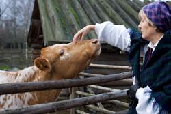 Skansenpedagog kliar ko på mulen.