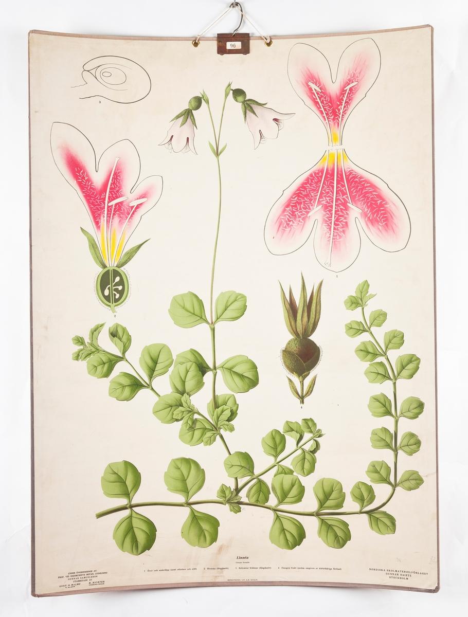 Botanikkplansjer til skolebruk. a. Salix caprea b. Linnea c. Ormegress d. Bjørnemose e. Moser f. Alger