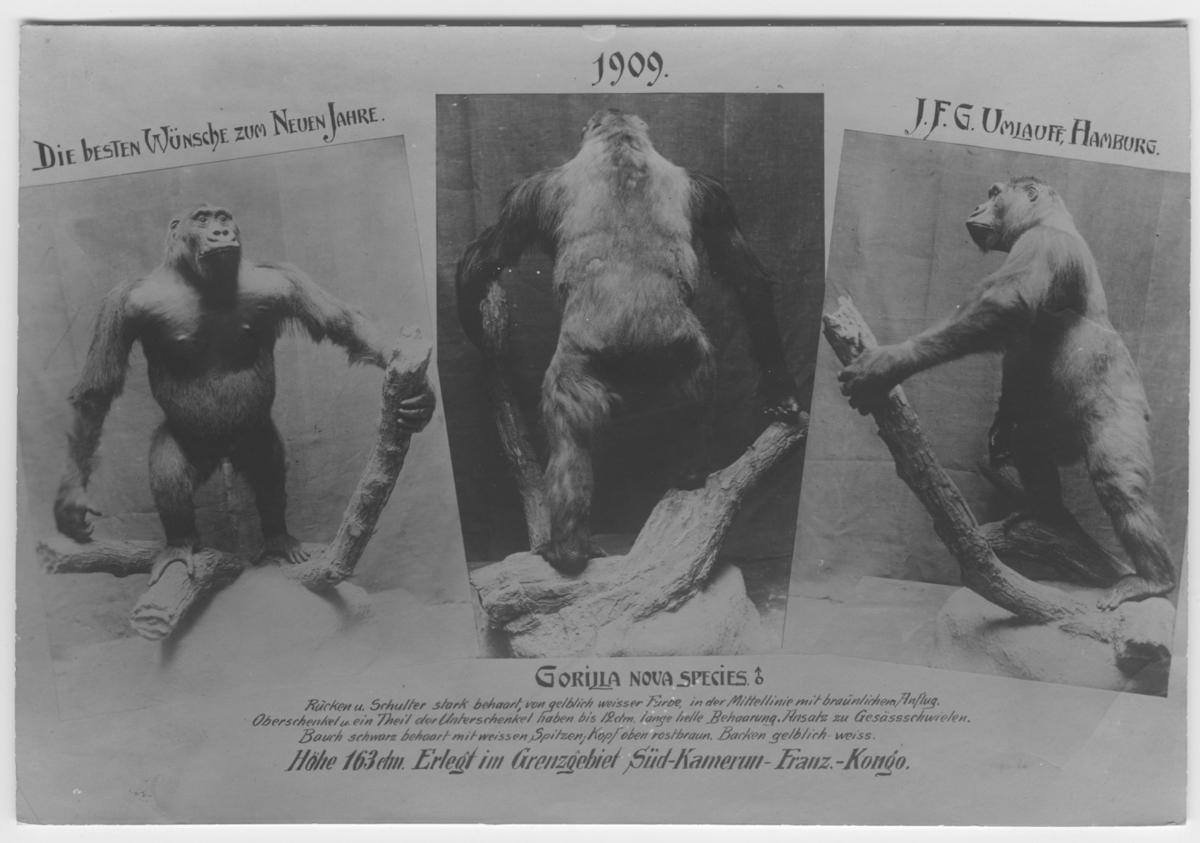 'Gorilla från  Rowland Ward, London :: 3 inklippta bilder, med text. Gorilla sedd framifrån, bakifrån samt från sidan. Nyårshälsning från Umlauff, Hamburg. :: På kortet står ''Die besten wünsche zum neuen Jahre. 1909. J.F.G Umlauff, Hamburg.'''