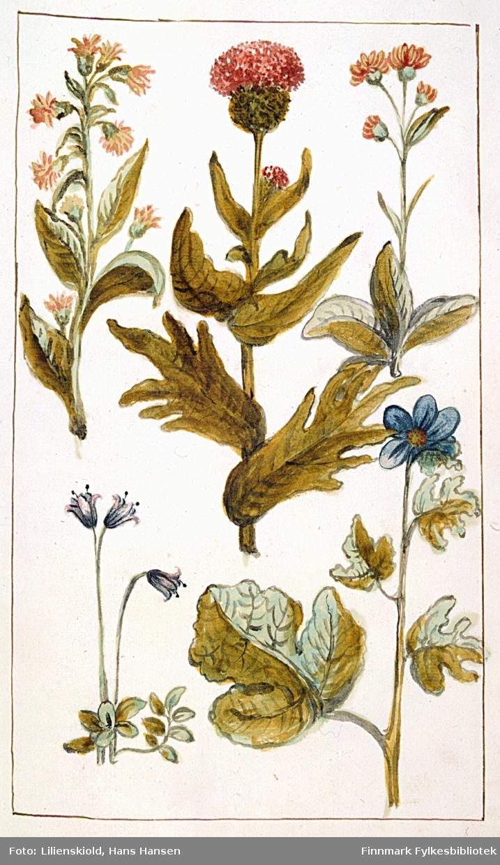 Plansje med flere planter, bare planten midt i øverste rekke er sikkert artsbestemt som en kvitbladtistel. Planten øverst til venstre likner en gullstjern, den nederst til venstre likner en blåklokke, mens planten nederst til høyre kan minne om en fiol