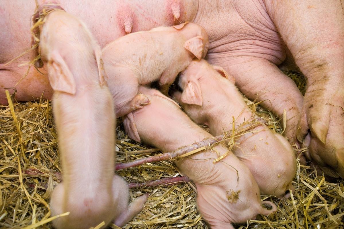 Nyfødte grisunger leter etter og suger på purkas spener