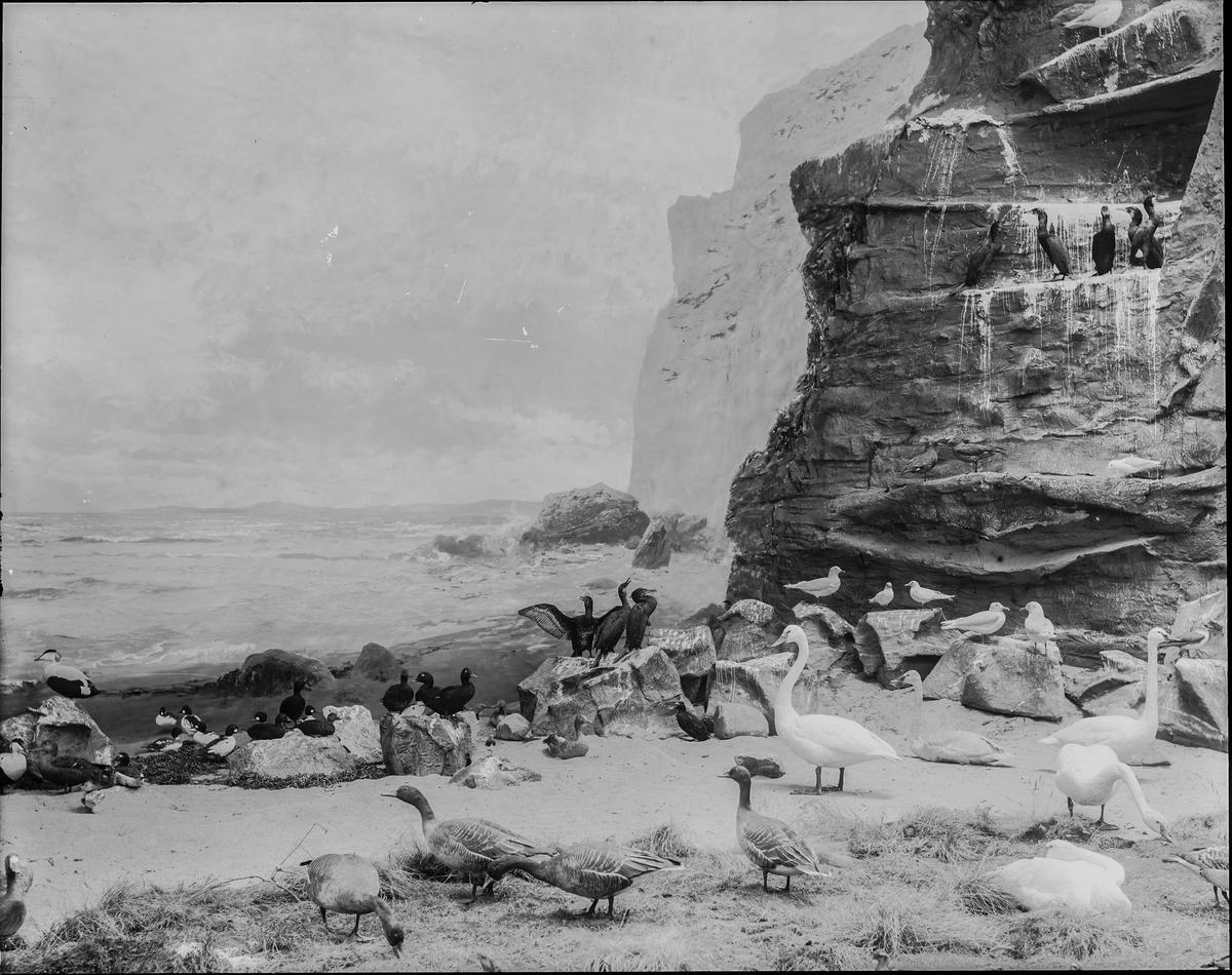 Diorama från Biologiska museets utställning om nordiskt djurliv i havs-, bergs- och skogsmiljö. Fotografi från omkring år 1900. Biologiska museets utsällning Svan Sångsvan Cygnus Cygnus (Linnaeus) Skarv Storskarv Phalacrocorax Carbo (Linnaeus)