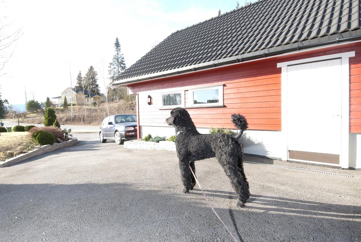 Hunden Pedro står i innkjøringen til sitt hjem.