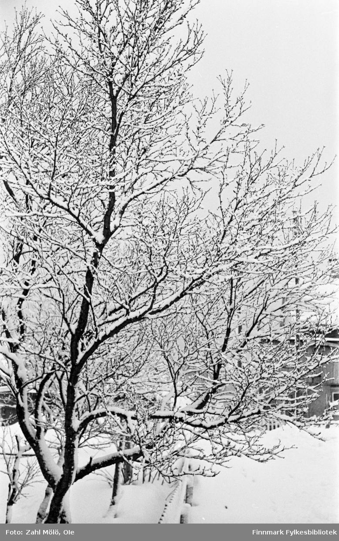 Fotografier fra Vadsø i tidsrommet 1967-68. Bjørketrær på vinterstid.