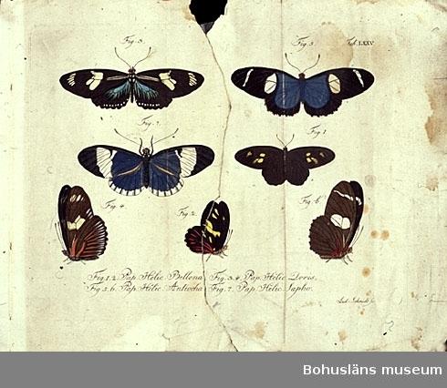 Fjärilar; blad ur bokverket Natursystem aller bekannten in- und ausländischen Insecten: Schmetterlinge. Carl Gustav Jablonsky & Johann F.W. Herbst. Berlin, 1780-talet.